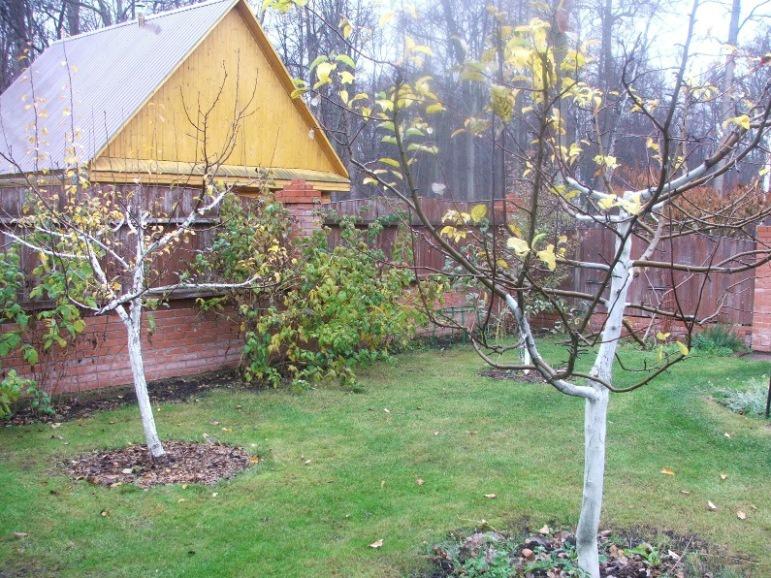Сад: Как утеплить яблоню на зиму