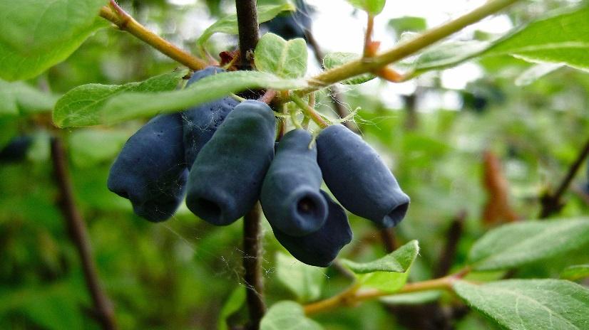 Огород: Плоды жимолости