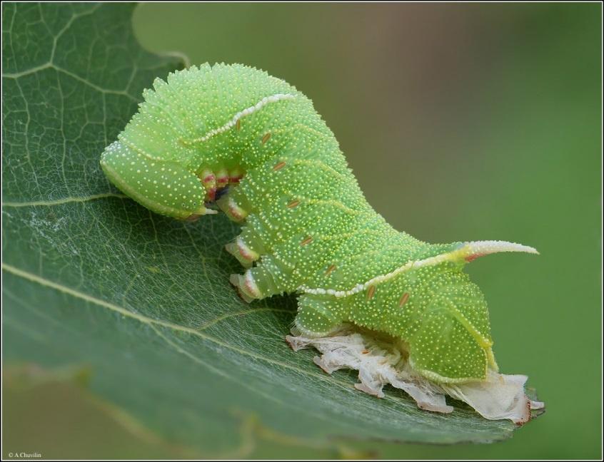 Огород: Гусеница жимолостного пилильщика