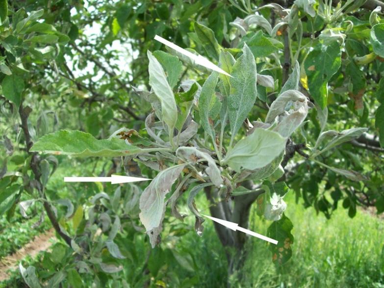 Огород: Мучнистая роса