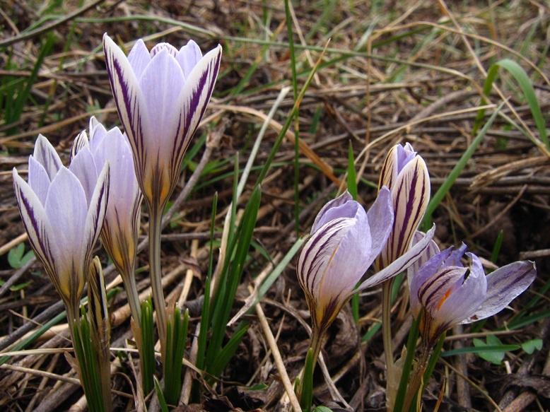 Цветы и клумбы: Посадка крокусов в открытый грунт