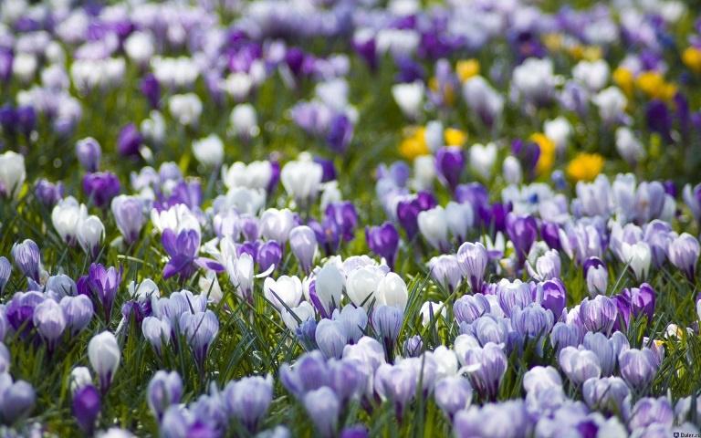 Цветы и клумбы: Крокусы