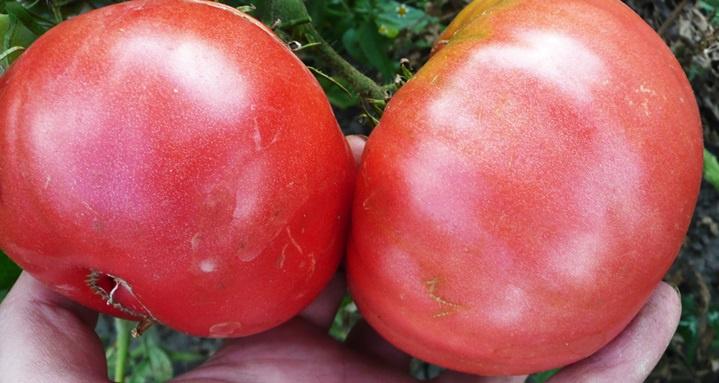 Огород: томат Розовый гигант