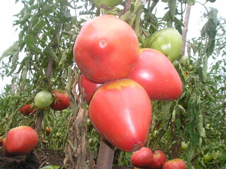 Огород: Сорта розовых томатов