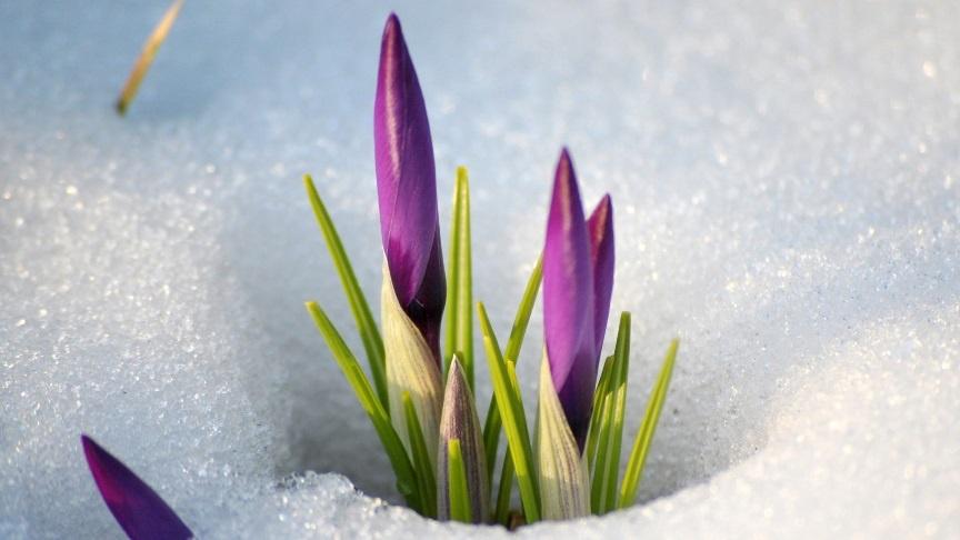 Цветы и клумбы: Крокус из под снега