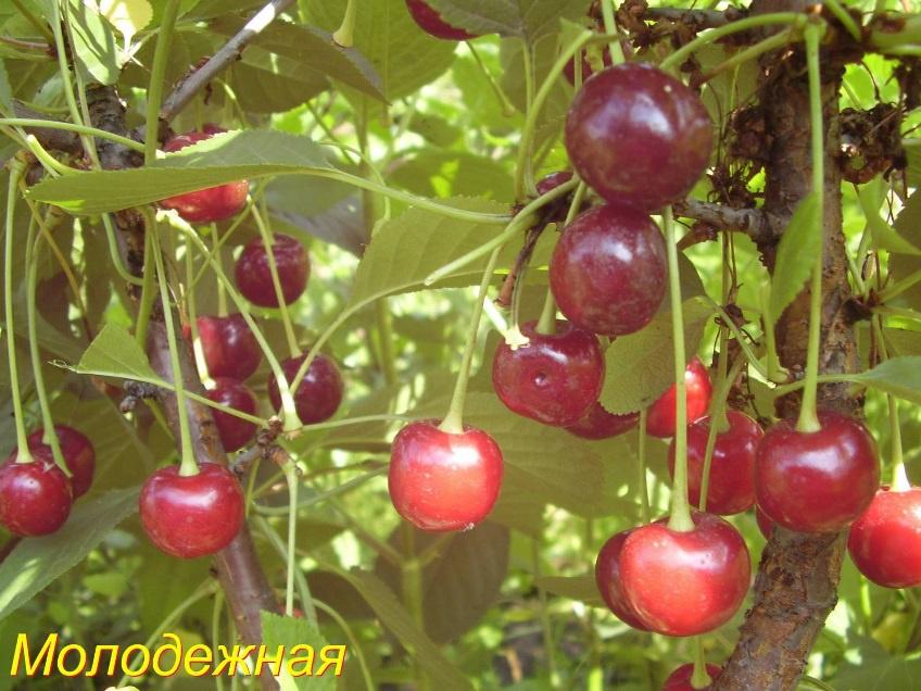 Сад: сорт вишни Молодежная