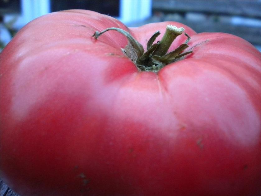 Огород: сорт томата Дикая роза