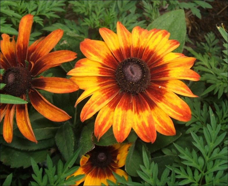 Цветы и клумбы: Цветок Рудбекия