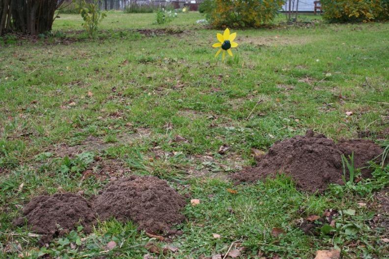 Огород: Как избавиться от кротов в огороде и саду (народный способ)