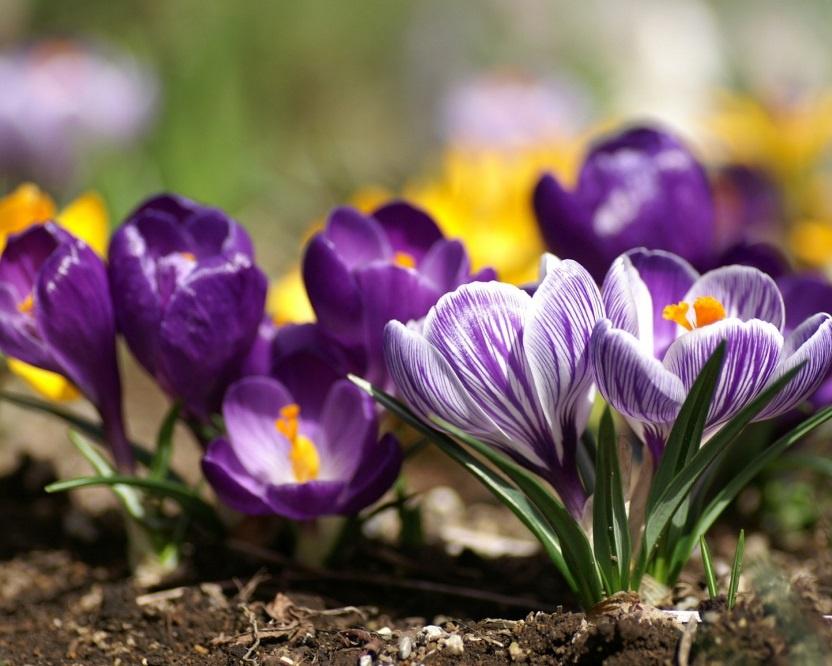 Цветы и клумбы: Схема выращивания клумб непрерывного цветения