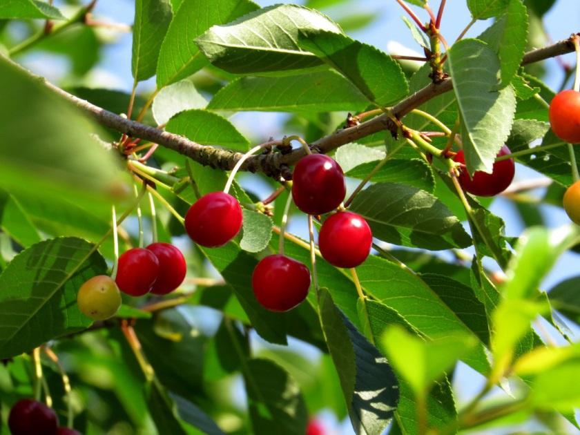 Сад: Сорта кустовой вишни