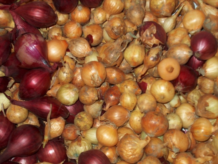 Огород: Когда и как сажать лук севок