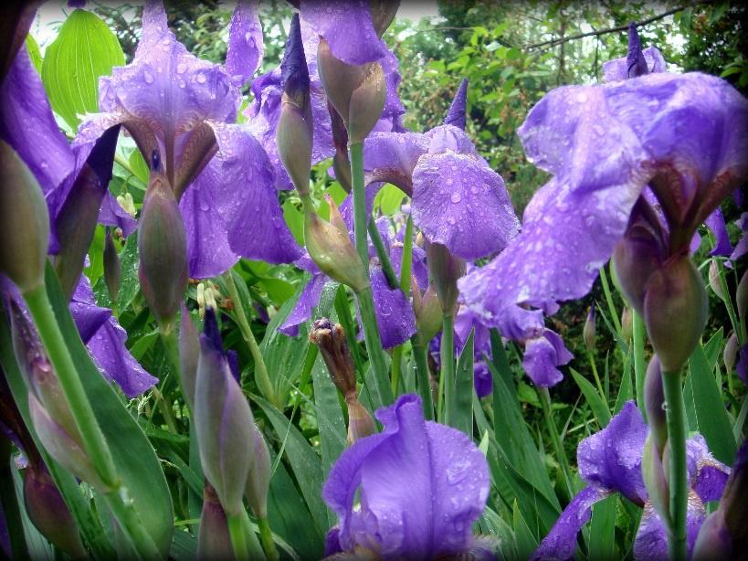 Цветы и клумбы: Ирисы