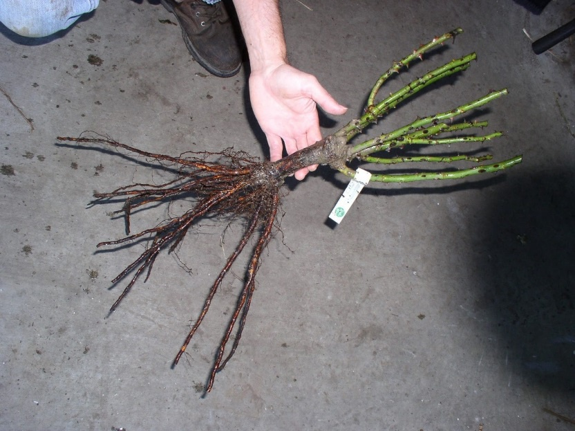 Сад: Саженцы деревьев и кустарников (декоративных и плодовых)