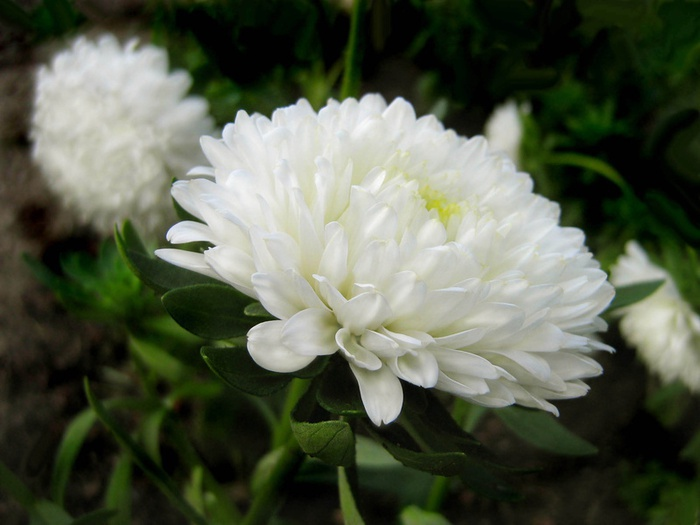 Цветы и клумбы: Бутон астры