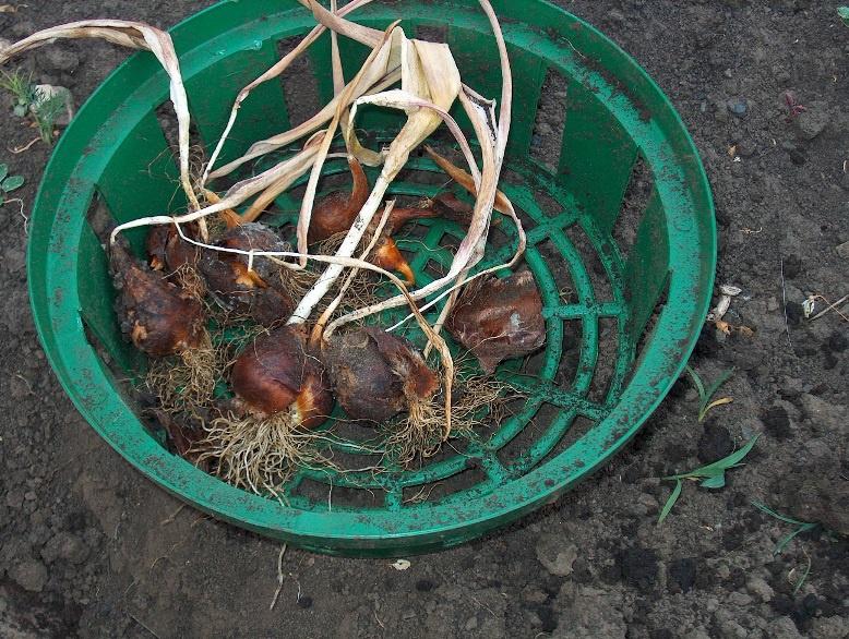 Цветы и клумбы: Осенняя посадка луковичных цветов в корзины