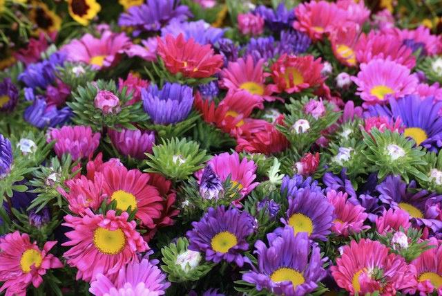 Цветы и клумбы: Многолетний цветок астра (описание и выращивание)