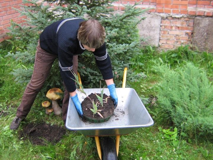 Цветы и клумбы: Перевозим корзину с луковичными цветами