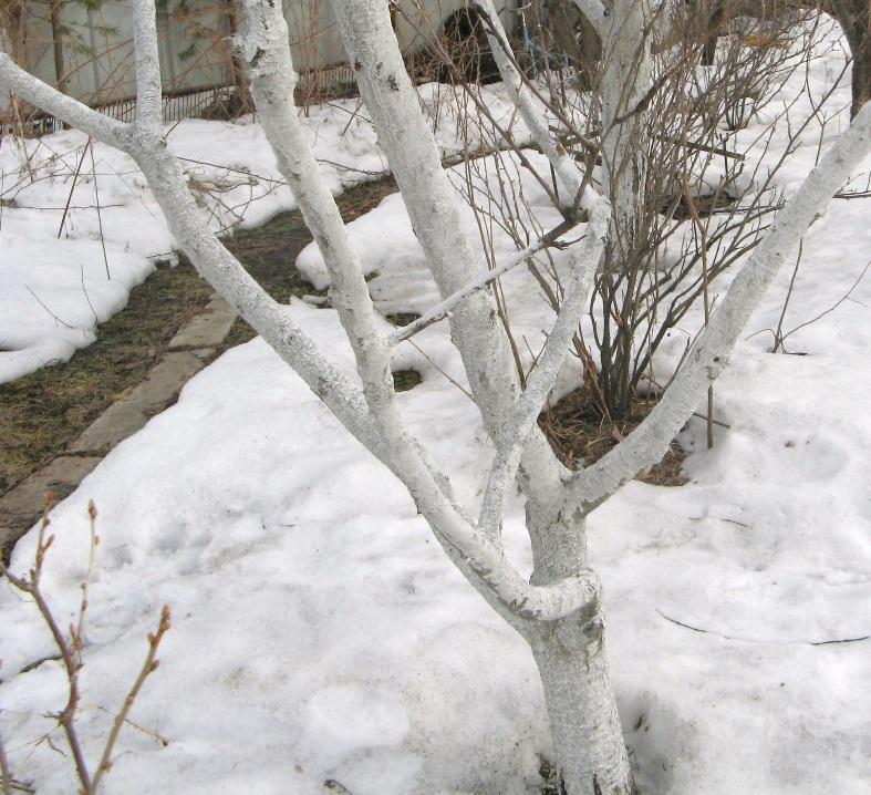 Сад: Плодовые деревья зимой