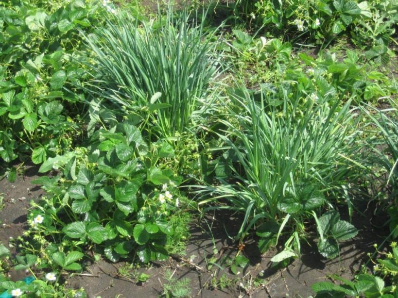 Огород: Чеснок в клубнике
