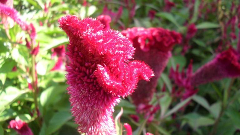 Цветы и клумбы: Бутон целозии