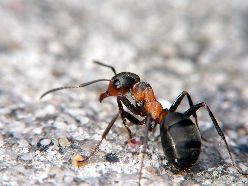 Огород: Как избавиться от муравьев в огороде