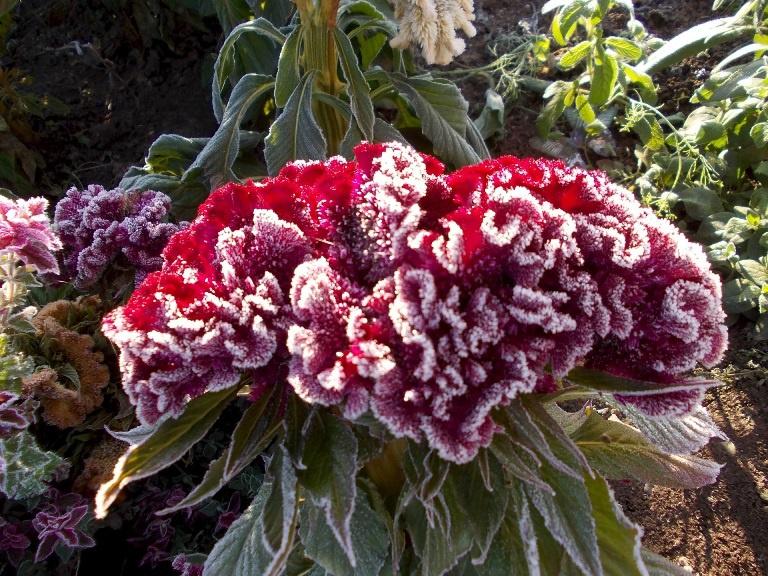 Цветы и клумбы: Выращивание целозии гребенчатой из семян