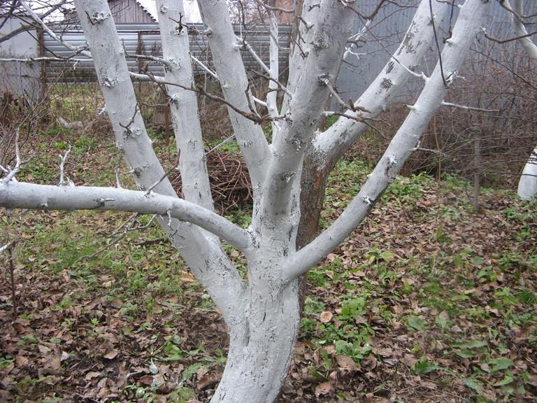 Сад: Побелка садовых деревьев осенью и весной