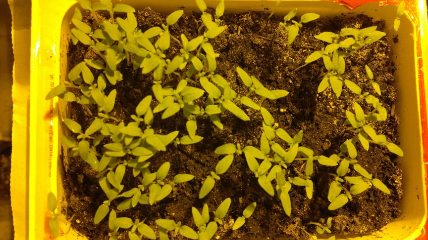 Цветы и клумбы: Цветы рудбекия: выращивание, посадка и уход