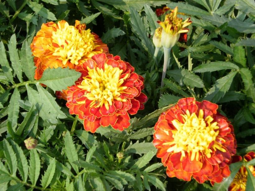 Цветы и клумбы: Бархатцы многолетние посадка и уход