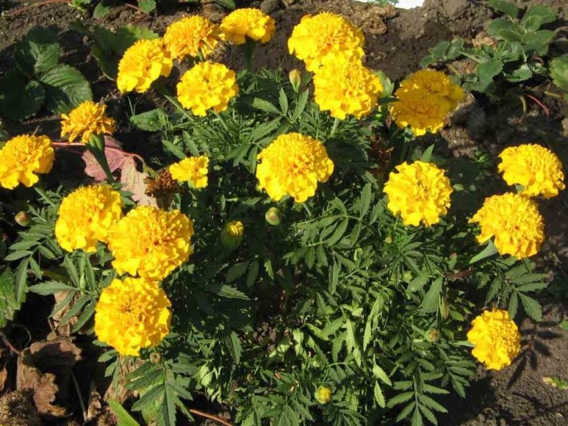 Цветы и клумбы: Цветы Бархатцы