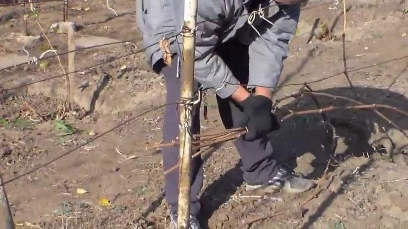 Огород: Как правильно обрезать малину весной