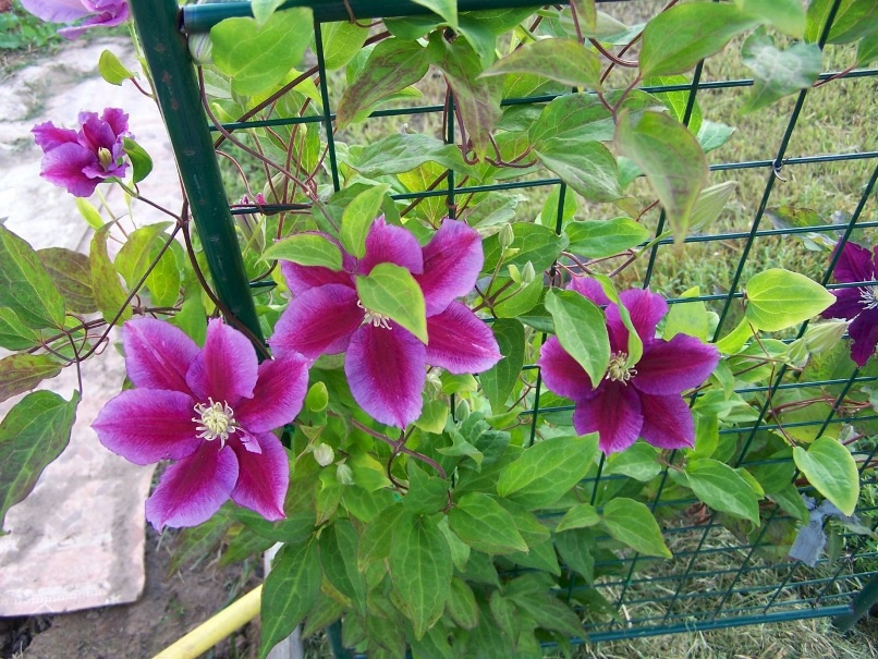 Цветы и клумбы: Цветы клематис: посадка и уход