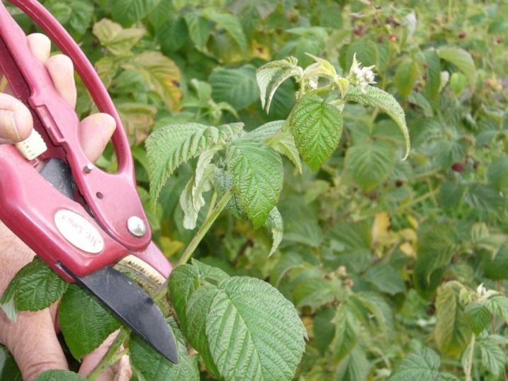 Огород: Обрезка побегов малины