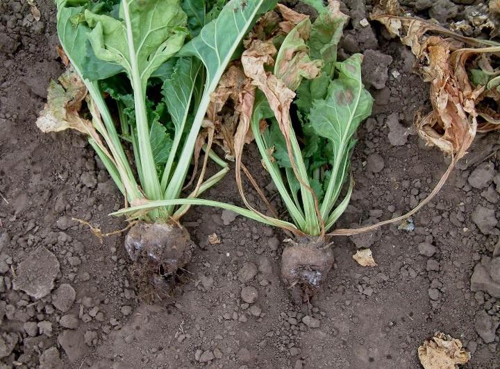Огород: Посадка и выращивание свеклы на даче