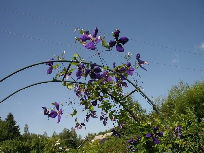 клематис фото цветов на клумбе