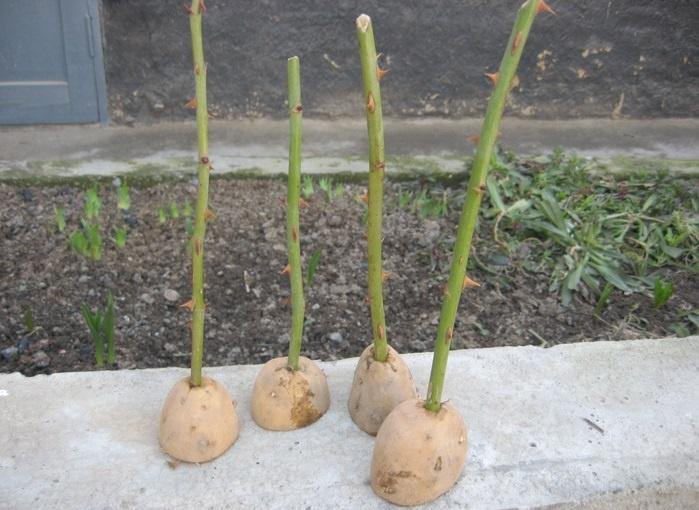 Посадка роз в картошку