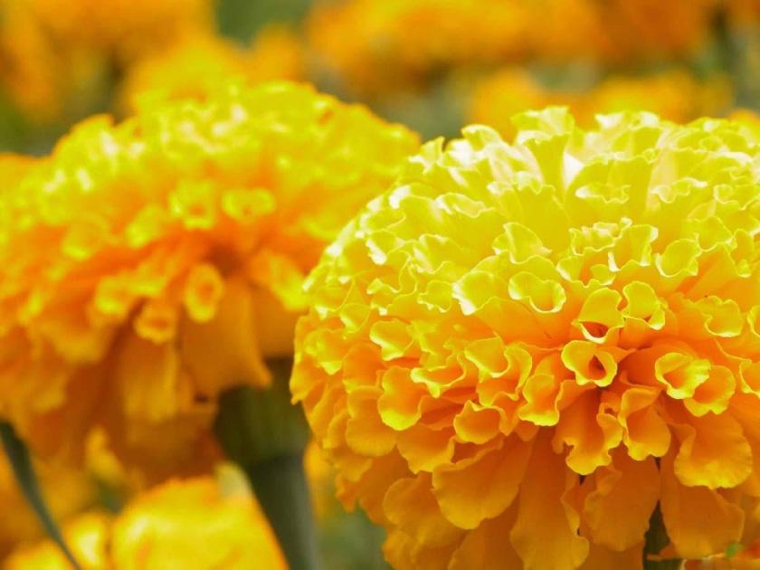 Цветы и клумбы: Бархатцы: сорта, описание и фото