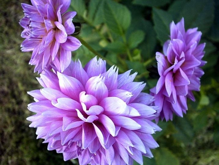 Цветы и клумбы: Хризантемы: посадка и уход от весны до осени