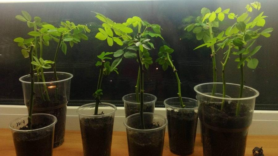 Цветы и клумбы: Выращивание роз из черенков и в картошке
