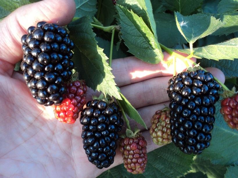 Сад: Размеры плодов ежевики
