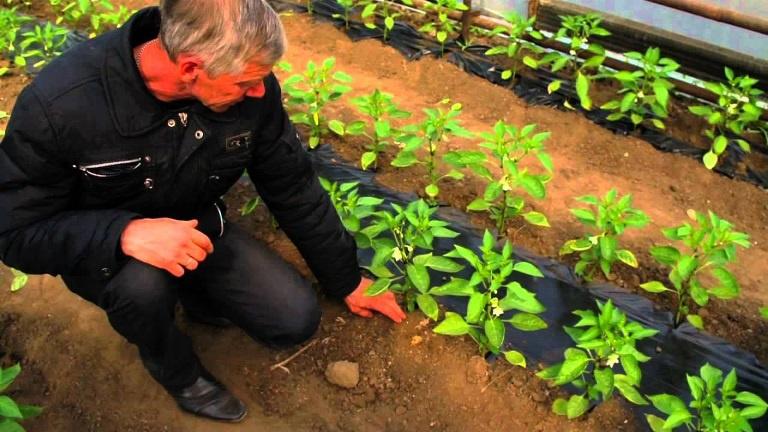 Огород: Выращивание болгарского перца в теплице и открытом грунте
