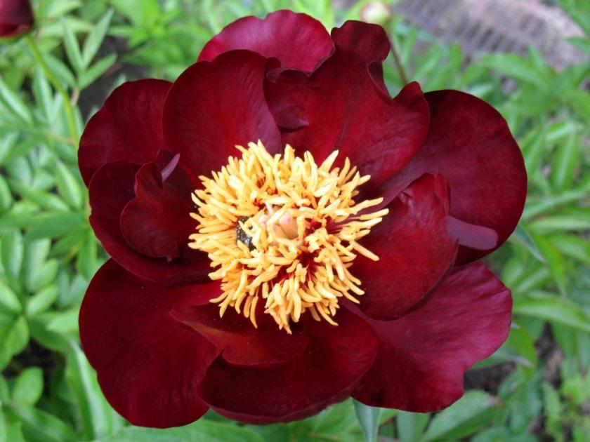 Цветы и клумбы: Виды и сорта пионов: фото с названиями