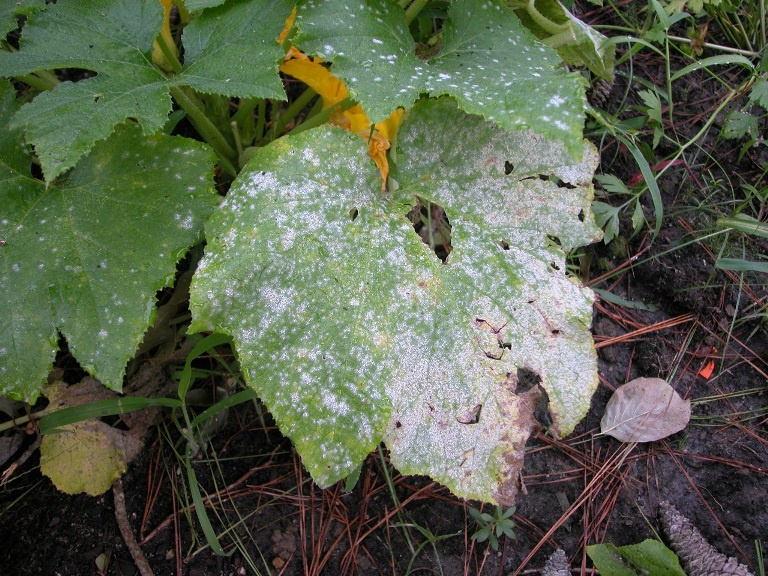 Огород: Болезни огурцов и их лечение