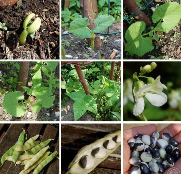 Огород: Выращивание фасоли в открытом грунте