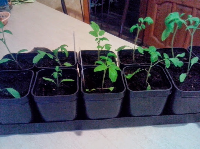 Блог дачника. MatveevaOlga: Как я выращиваю рассаду помидоров