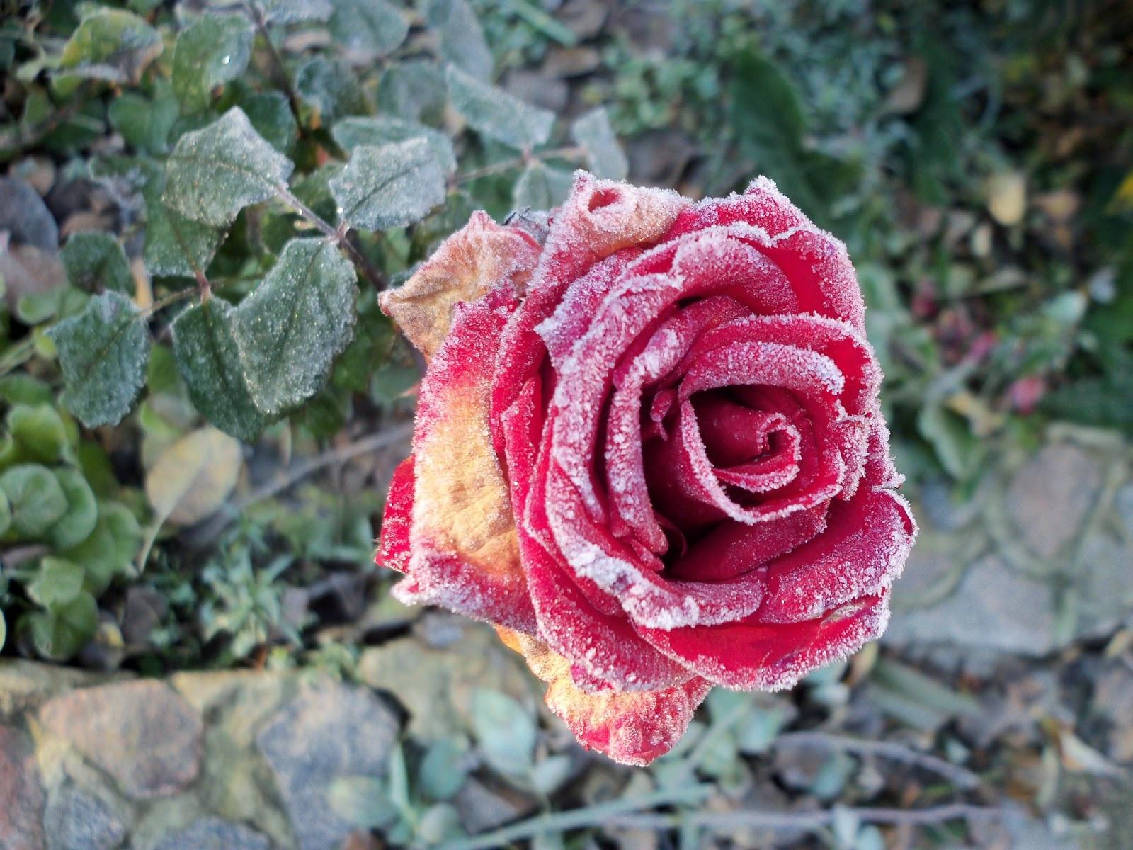 Цветы и клумбы: Обработка роз от болезней