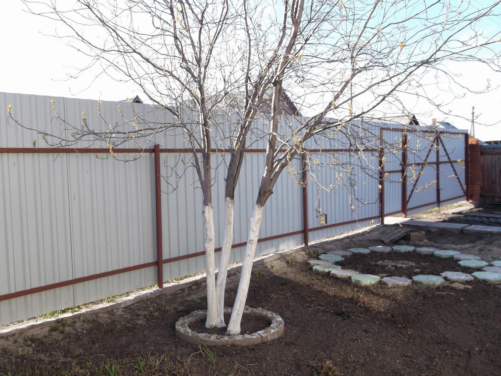 Сад: Состав побелки для плодовых деревьев