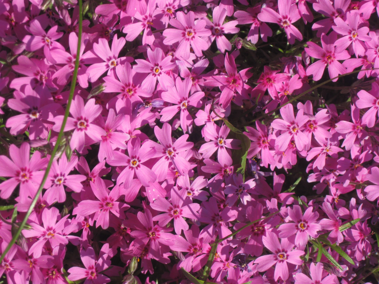 Цветы и клумбы: Сорта флоксов фото и названия