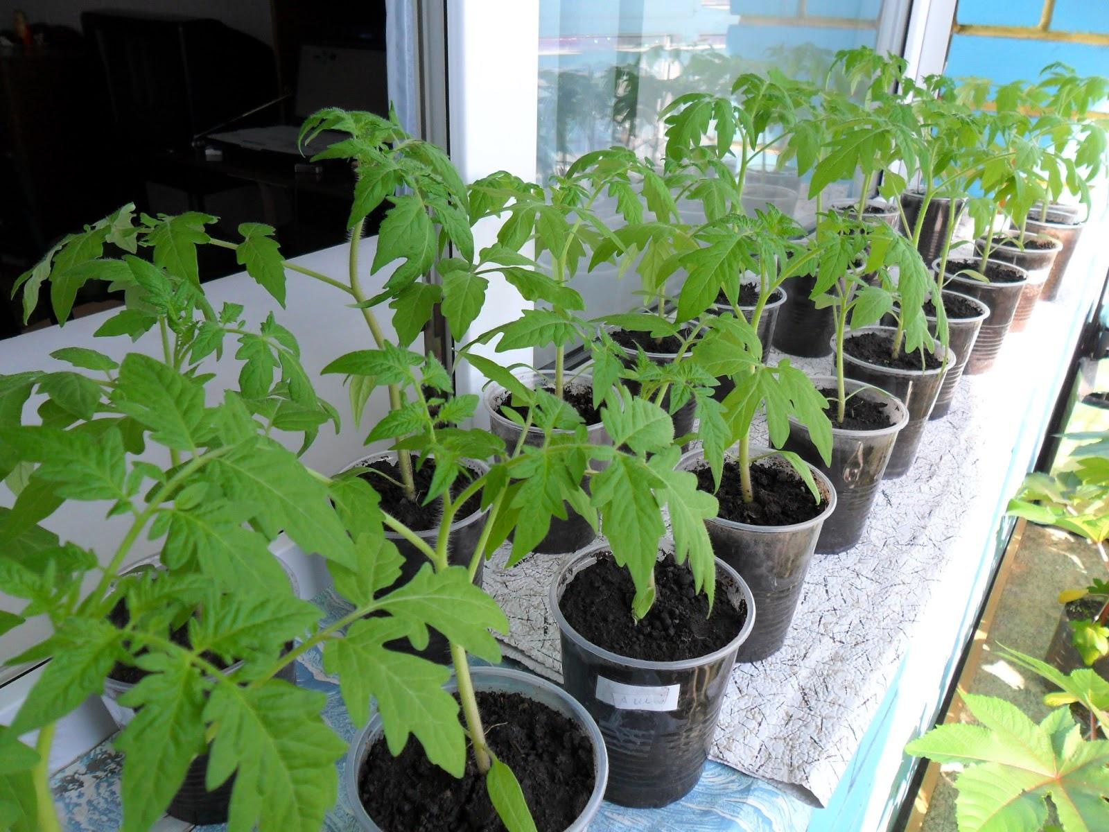 Огород: Помидоры в теплице технология выращивания